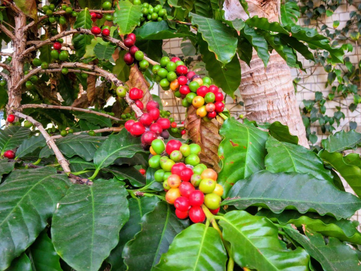Kavos pupelėse yra daug sudėtingų organinių medžiagų